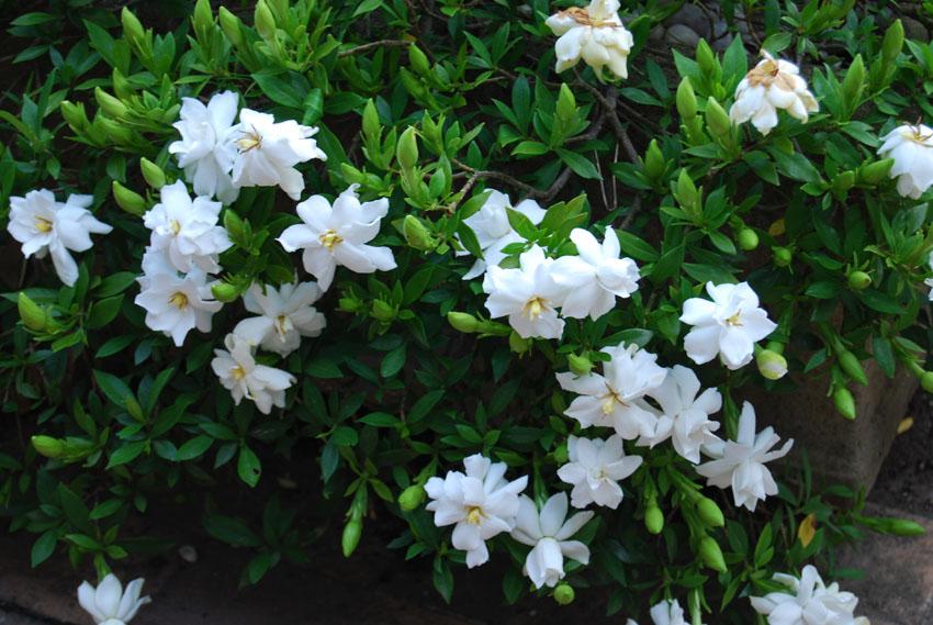 Gardenia Radicans Grower Direct