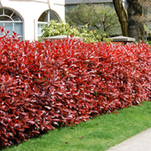 Photinia Red Robin 5 00 Hugely Por Hedge